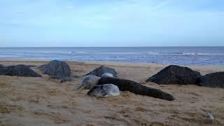 Waxham Beach seal pups
