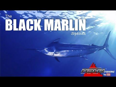 The Black Marlin - Species [ASFN Fishing]