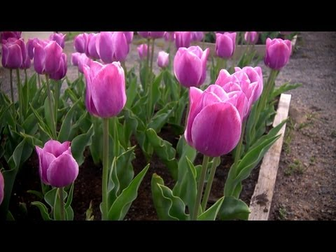 How to Grow Tulips | At Home With P. Allen Smith