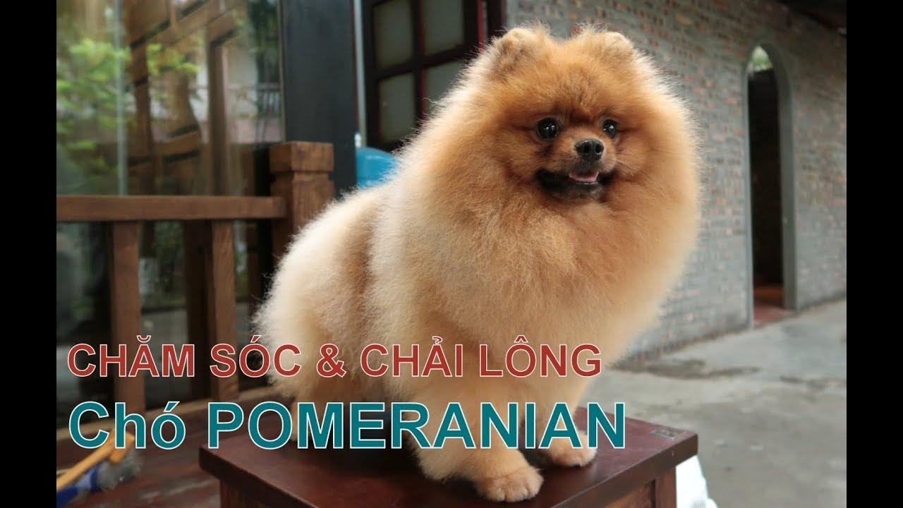 Phần 2: Chó POMERANIAN & Cách chải bộ lông cho Cún/Chó Phốc Sóc đẹp/NhamTuatTV