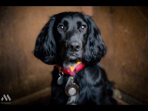 Digby - Cocker Spaniel - 3 Weeks Residential Dog Training