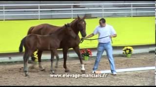 Chahrazed Manciaise, pouliche par Messire Ardent