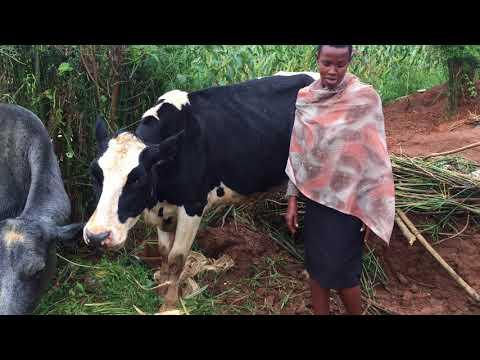 Murindi cows Jan2018;;