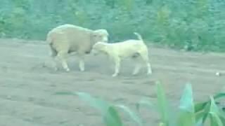 Repeat youtube video Perro molestan a oveja.3gp