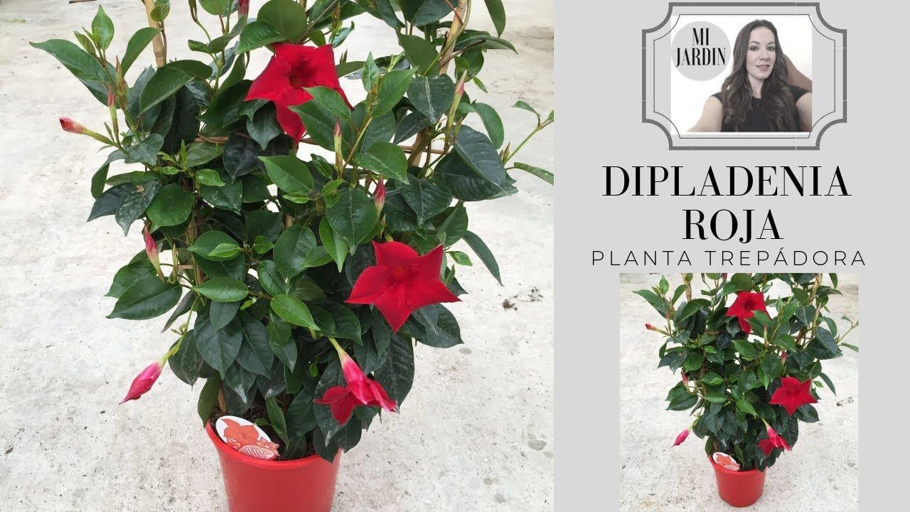 dipladenia roja y sus cuidados planta trepadora con flor