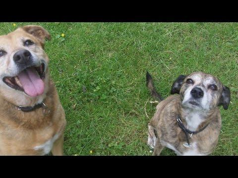 Paddy ( Staffordshire Bull Terrier X) & Rebel ( German Shepherd X ...