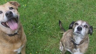 Paddy ( Staffordshire Bull Terrier X)  & Rebel ( German Shepherd X )