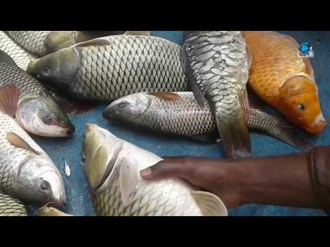 (alive Fish Market Auction) Traditional Alive Fish Market In The Open Bazar