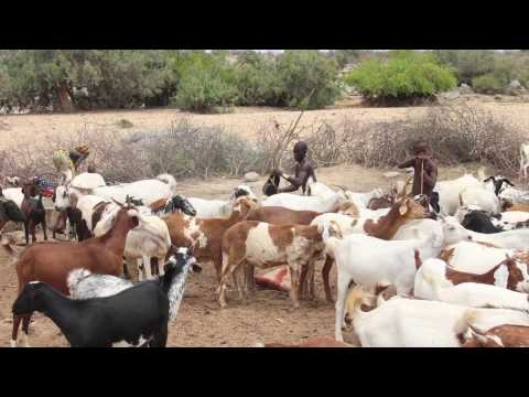 Pastoralism in Angola – FAO support to improving governance of tenure
