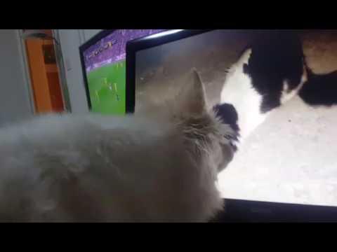 German Spitz: Cat attack!
