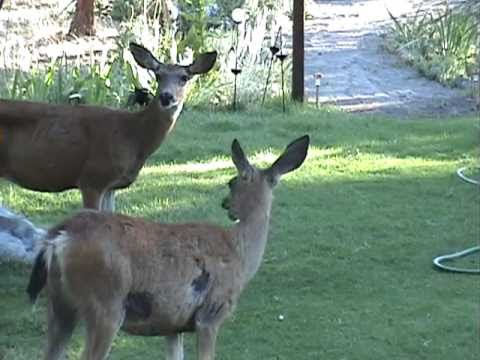 Deer says, 'Meh!' - Mother Deer and Fawns - Deer in the Yard