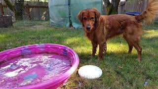 Chuy the Golden Retreiver enjoying his pool on a hot day.