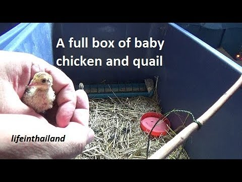 Raising chickens and quail together, from incubation to moving them outside.