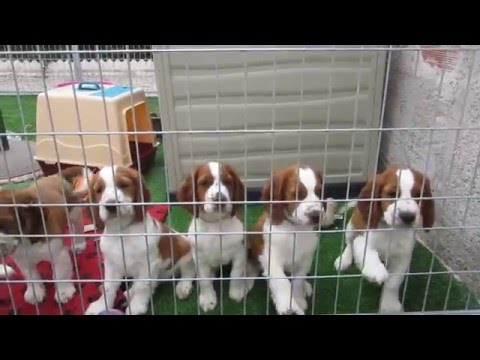 Jade´s Welsh springer spaniel puppies - 9 weeks old (part 1)