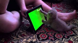 Funny cat plays on Ipad | My funny cat playing on ipad