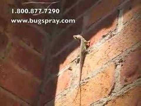 Anole Chameleon On House Brick