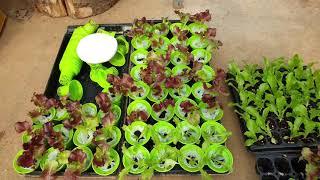 늘푸른채 수경재배기 비닐하우스에서 재배하고 있습니다 #…