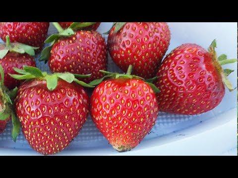Лучшие сорта садовой земляники (клубники) | крупноплодная | ремонтантные | михайленко | земляники | земляника | питомник | клубника | виктория | садовый | садовая