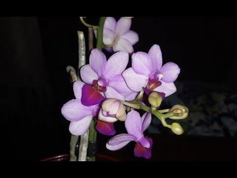 🌸Продажа орхидей по Украине.  Отправка в любую точку. (завоз 14 июня 19 г.) ЗАМЕЧТАТЕЛЬНЫЕ КРАСОТКИ