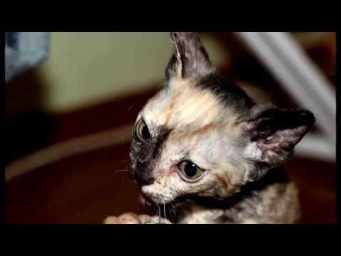 Вопрос: Какая подорода кошек имеет кудрявую шерть?