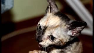 Порода кошек. Уральский рекс. Удивительная порода кошек.смотрим и наслаждаемся!