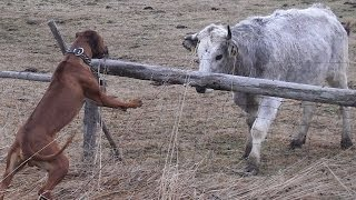 Ridgeback fight with the bull (Rhodesian ridgeback - Axel - Big dog)