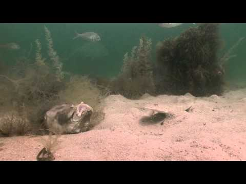 Star Gazer Eats Fish Alive