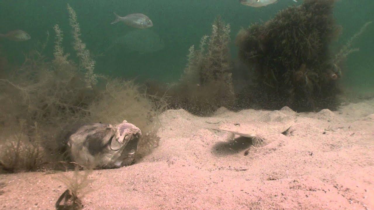 Moments later, the big fish spots its victim.