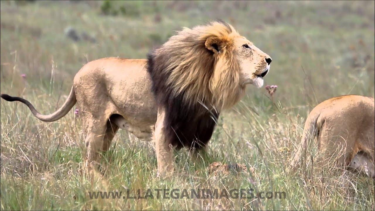 a Big Male lion roaring - YouTube