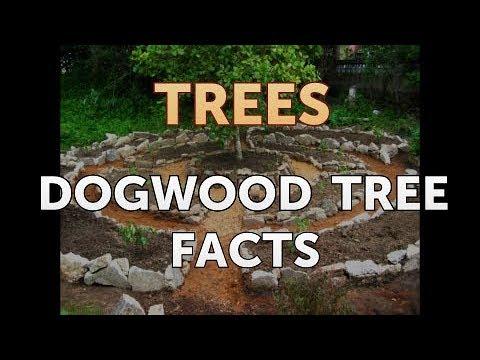 Dogwood tree facts youtube dogwood tree facts mightylinksfo