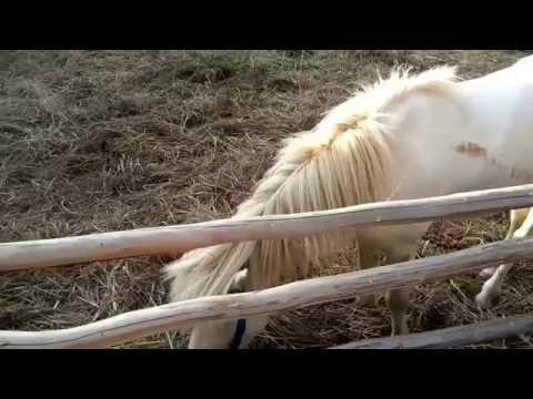 Melihat Kuda Poni. Anak Melihat Sapi, Kambing, Domba, Iguana, Hamster, Kelinci, Burung, Ikan, Kura thumbnail