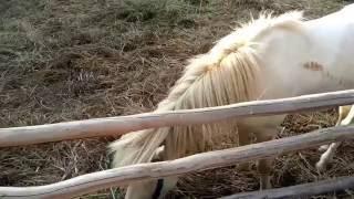 Melihat Kuda Poni. Anak Melihat Sapi, Kambing, Domba, Iguana, Hamster, Kelinci, Burung, Ikan, Kura