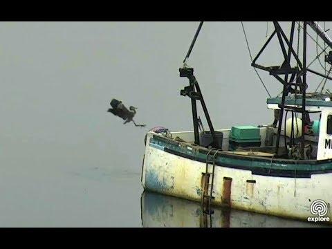 Humphrey gets a bigger boat! Hog Island Ospreys. 17 September 2017
