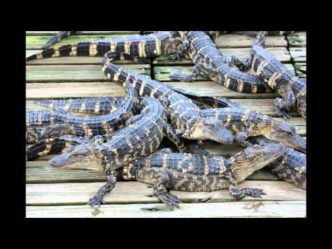 Gatorland in Orlando, Florida - A Short Video with Still Images