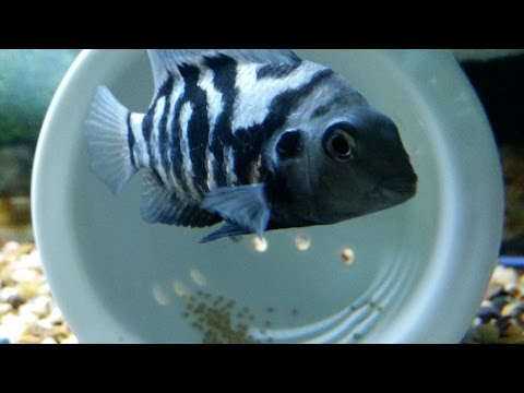 Convict Cichlid Breeding: Female Convict Cichlid Laying Eggs