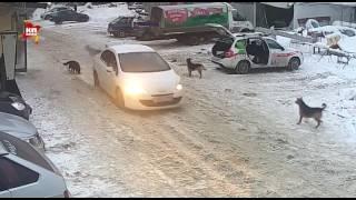 В Самаре автоледи безжалостно задавила старую собаку