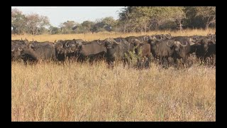 African Buffalo Hunt  Namibia Caprivi Hunting at it's best #5