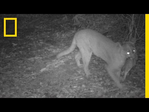 Mountain Lions Caught on Camera in San Francisco Bay Area | National Geographic