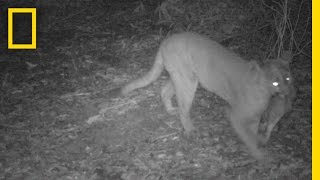 Mountain Lions Caught On Camera In San Francisco Bay Area