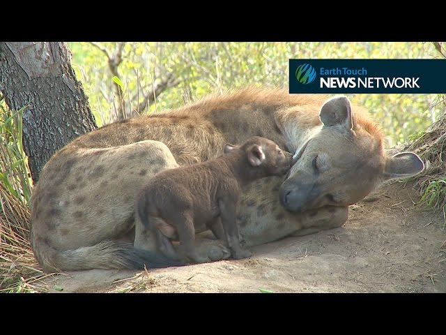 Adorable hyena cub plays with its mother