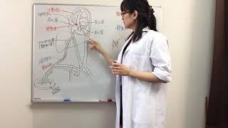 柔整・鍼灸師のための解剖学胎児循環