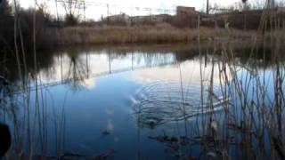ловля толстолоба на пруду