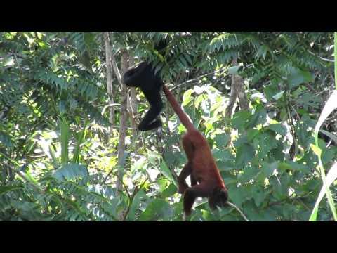 Grands singes araignée