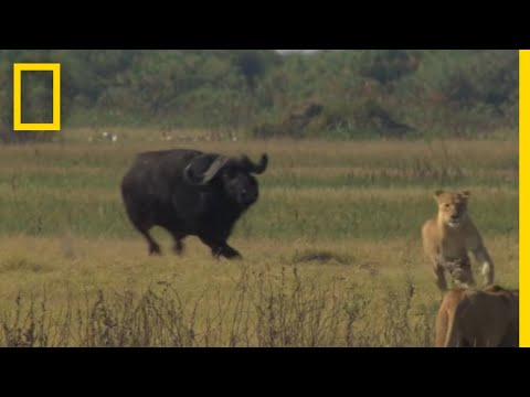 Thumbnail: Buffalo Bull Chase - The Last Lions Deleted Scenes | National Geographic