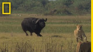 Buffalo Bull Chase - The Last Lions Deleted Scenes | National Geographic