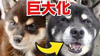豆柴と言われて飼った柴犬が成犬になったら超巨大に成長したww