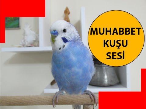 Muhabbet Kuşu Sesi