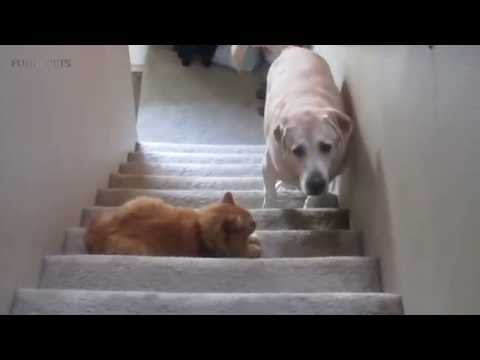 DOGS AFRAID OF CATS (HD) [Funny Pets]