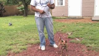 Dog Training & Care : How To Train A Chihuahua
