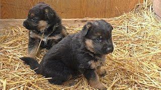 ЩЕНКИ НЕМЕЦКОЙ ОВЧАРКИ 1 мес. Puppies German Shepherd. Одесса.